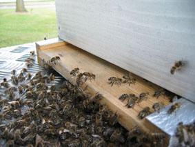 انواع نحل انتاج العسل المستأنثة IMG_5788